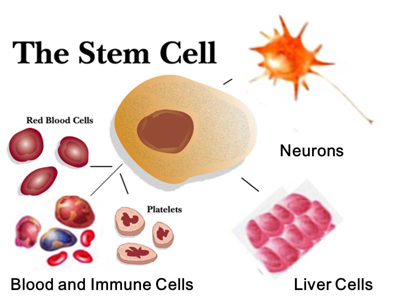 Image result for stemcell