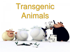 How far away is transgenic animal food from us?