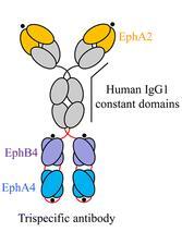Eph antibody