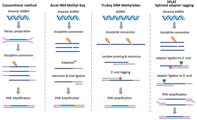 Principles of library preparation methods for Whole Genome Bisulfite Sequencing (WGBS)