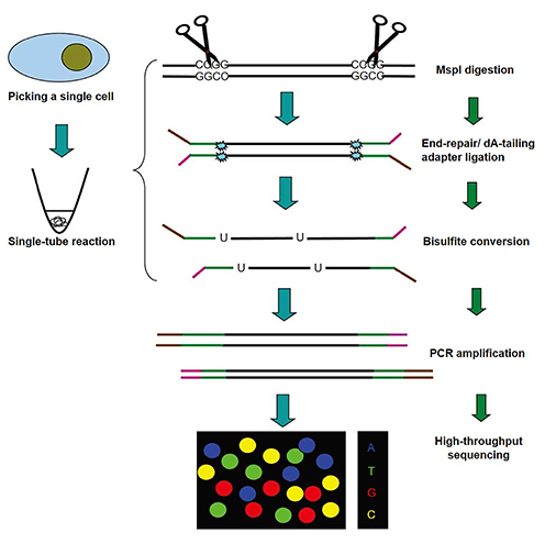 The schematic diagram of Single-cell Reduced Representation Bisulfite Sequencing (scRRBS)