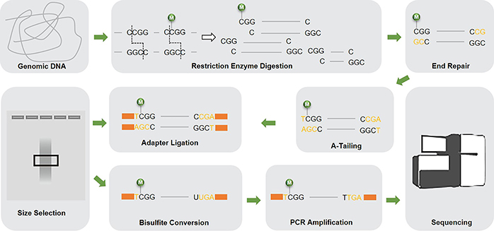 The schematic diagram of Reduced Representation Bisulfite Sequencing (RRBS)