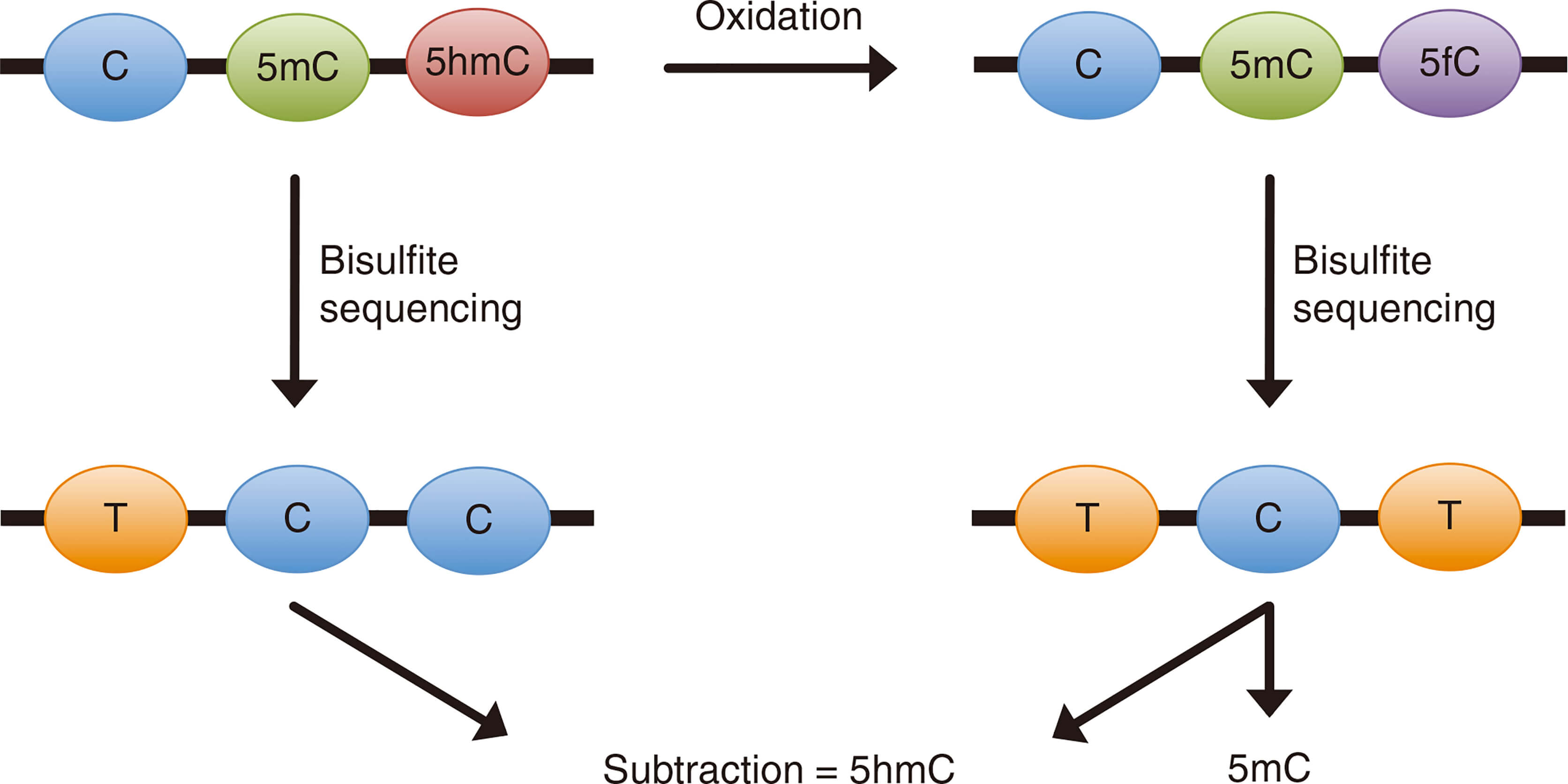 Schematic illustration of the principle behind oxidative bisulfite sequencing (oxBS-Seq)