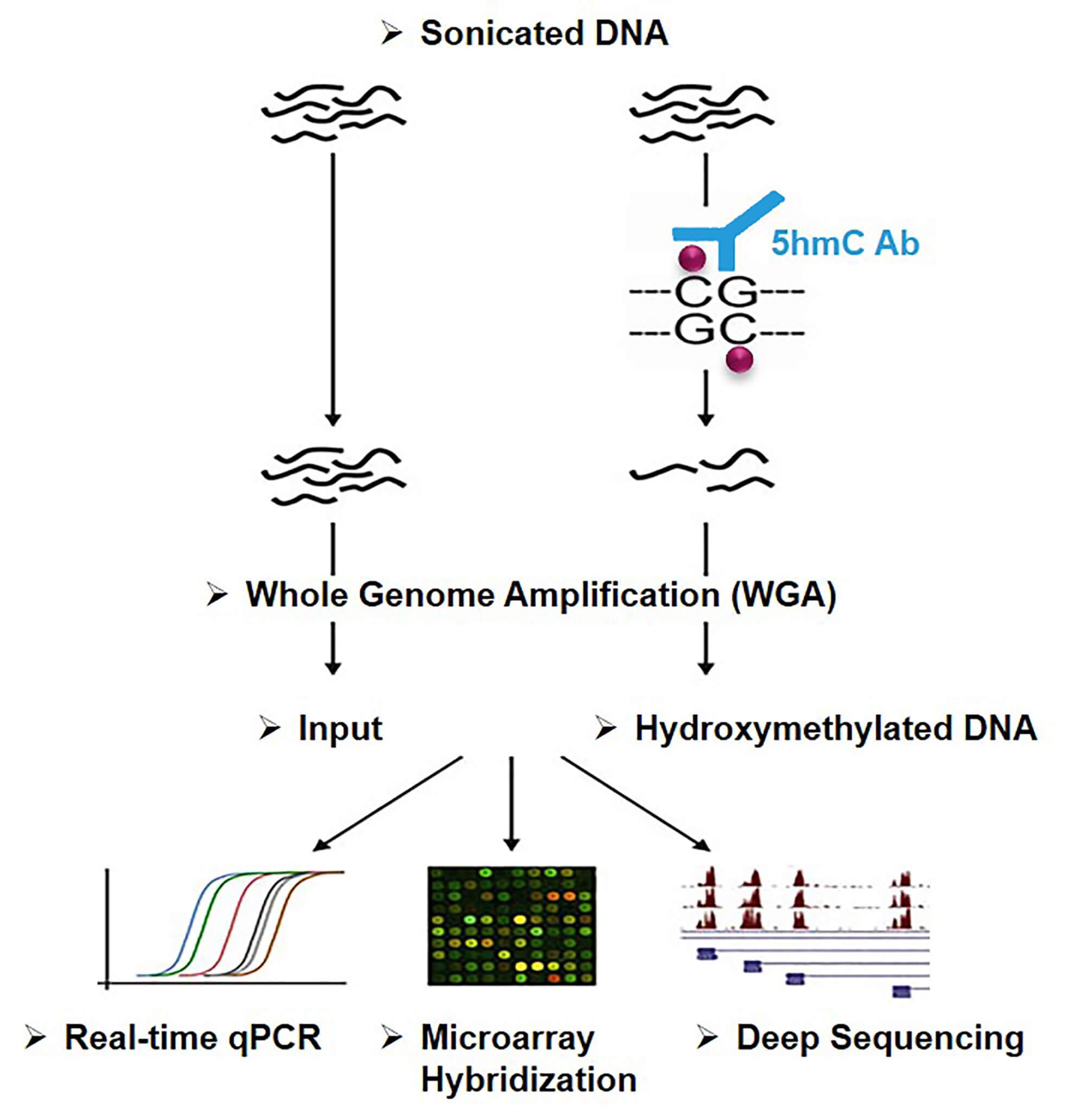 Principle of hydroxymethylated DNA immunoprecipitation (hMeDIP)