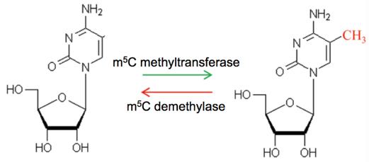 Dynamically reversible process of 5mC RNA methylation