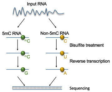 Diagram of 5mC RNA Sequencing workflow
