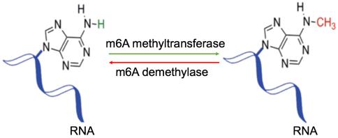 Dynamically reversible process of m6A RNA methylation