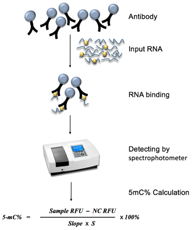Diagram of Global RNA 5mC Quantification workflow