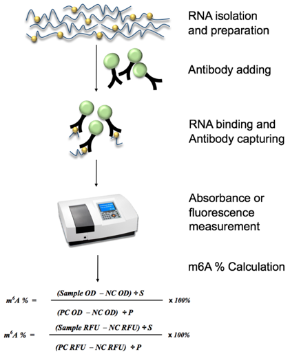 Diagram of Global RNA m6A Quantification workflow