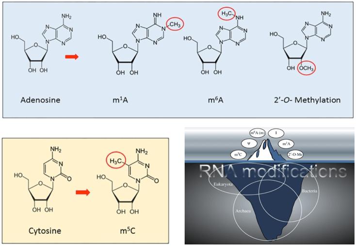 Several types of RNA methylation