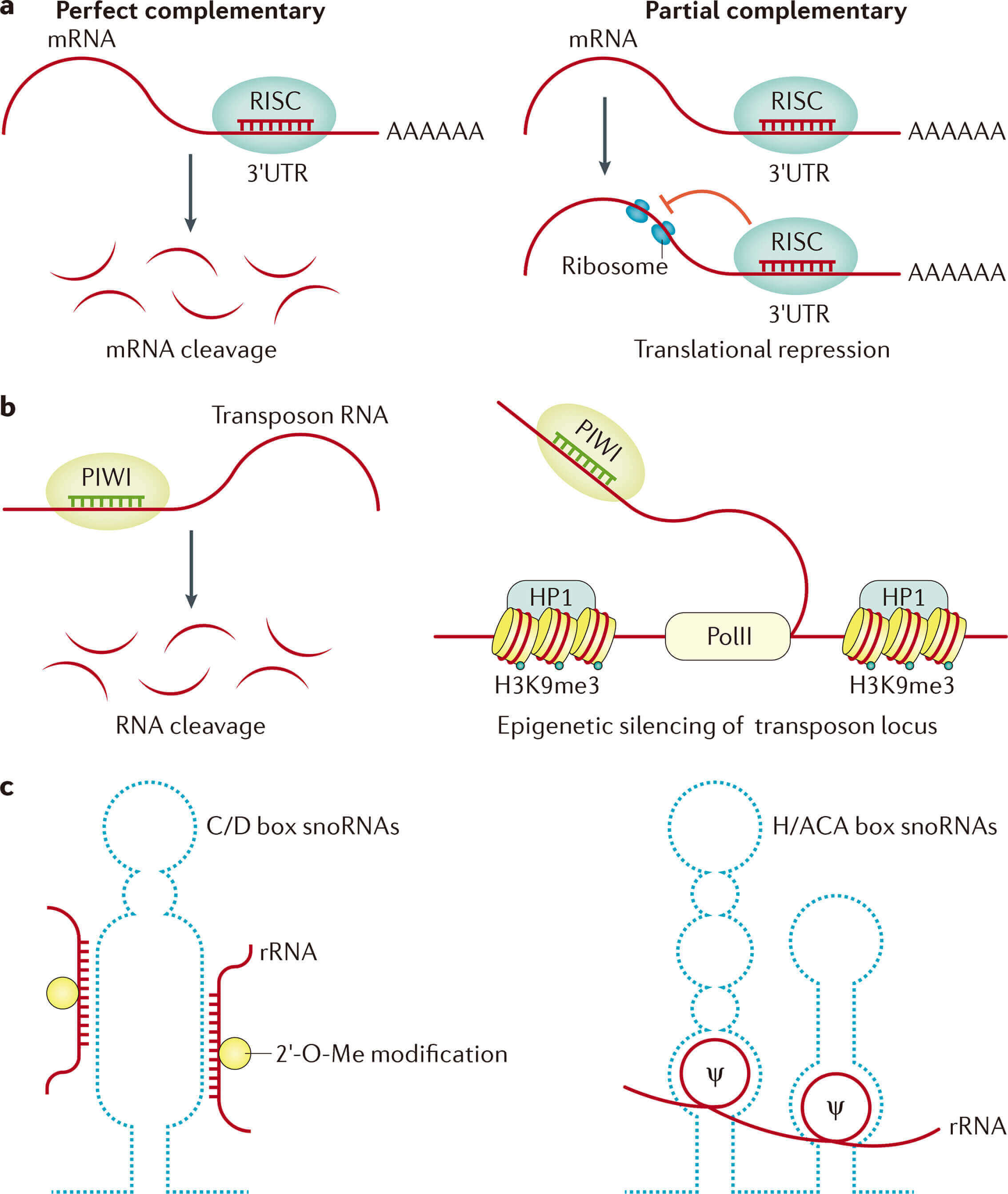 Mechanisms and functions of small non-coding RNAs