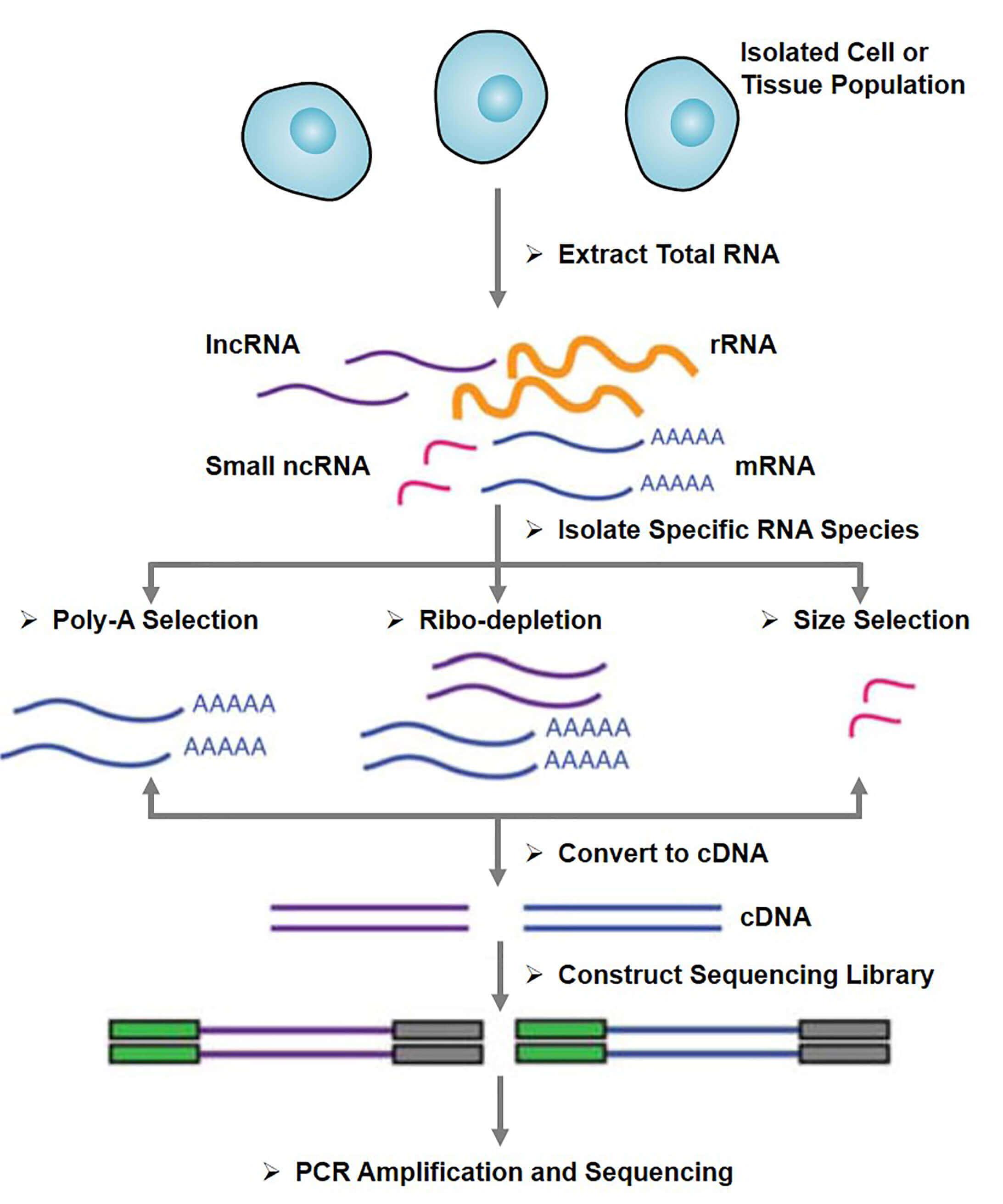 Schematic illustration of RNA-Seq