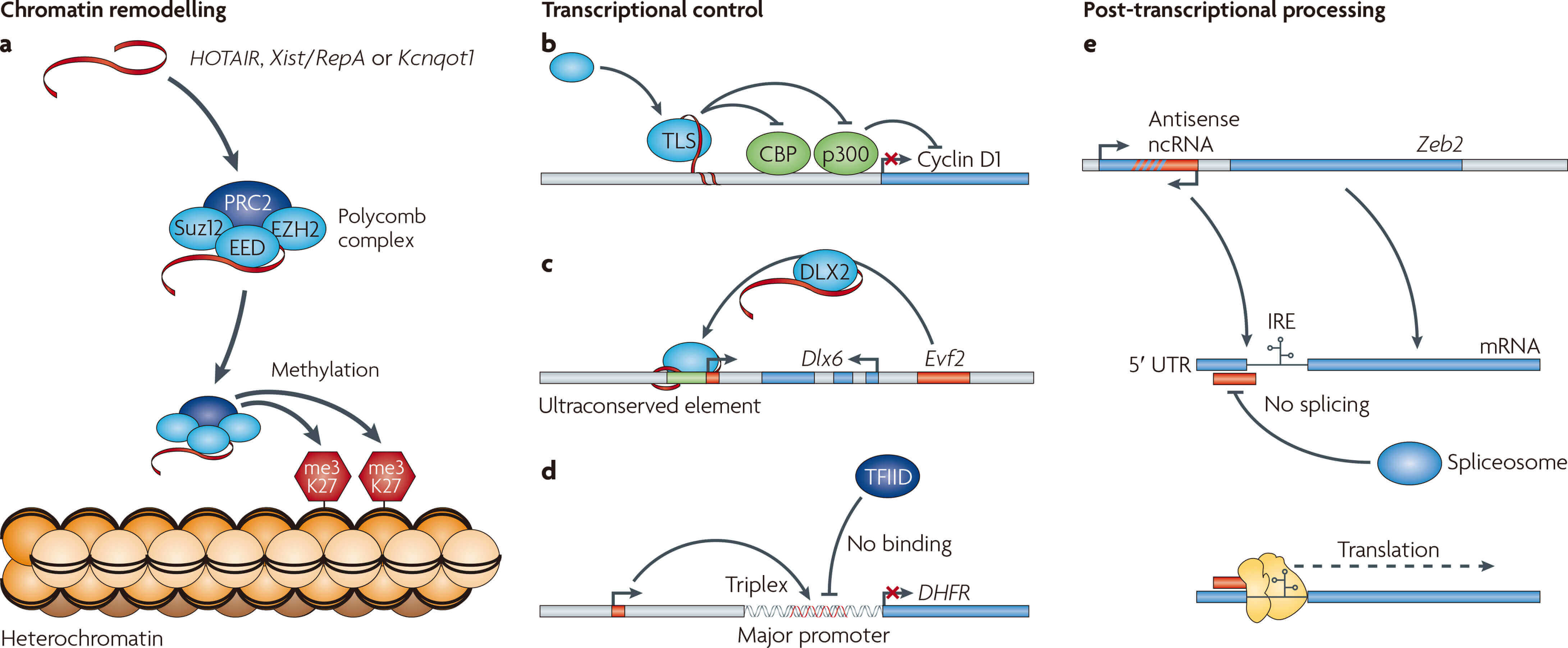 Schematic illustration of long non-coding RNA (lncRNA) functions