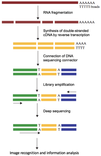 Schematic of RNA-seq Procedures