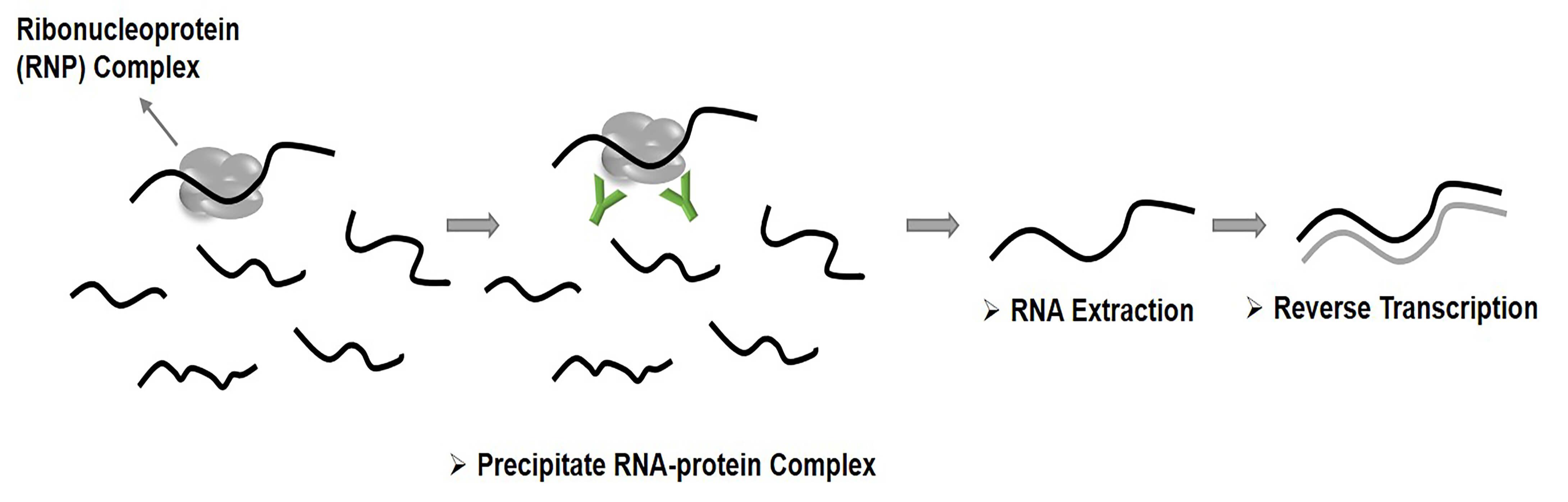 Schematic illustration of the principle behind RNA immunoprecipitation (RIP)