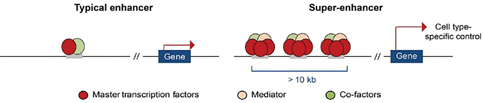 Comparison of super-enhancers and typical enhancers