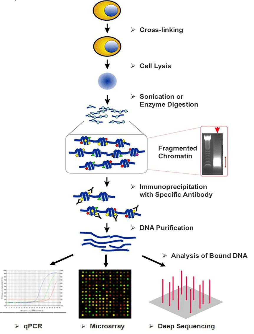 Overview of chromatin immunoprecipitation (ChIP) strategies