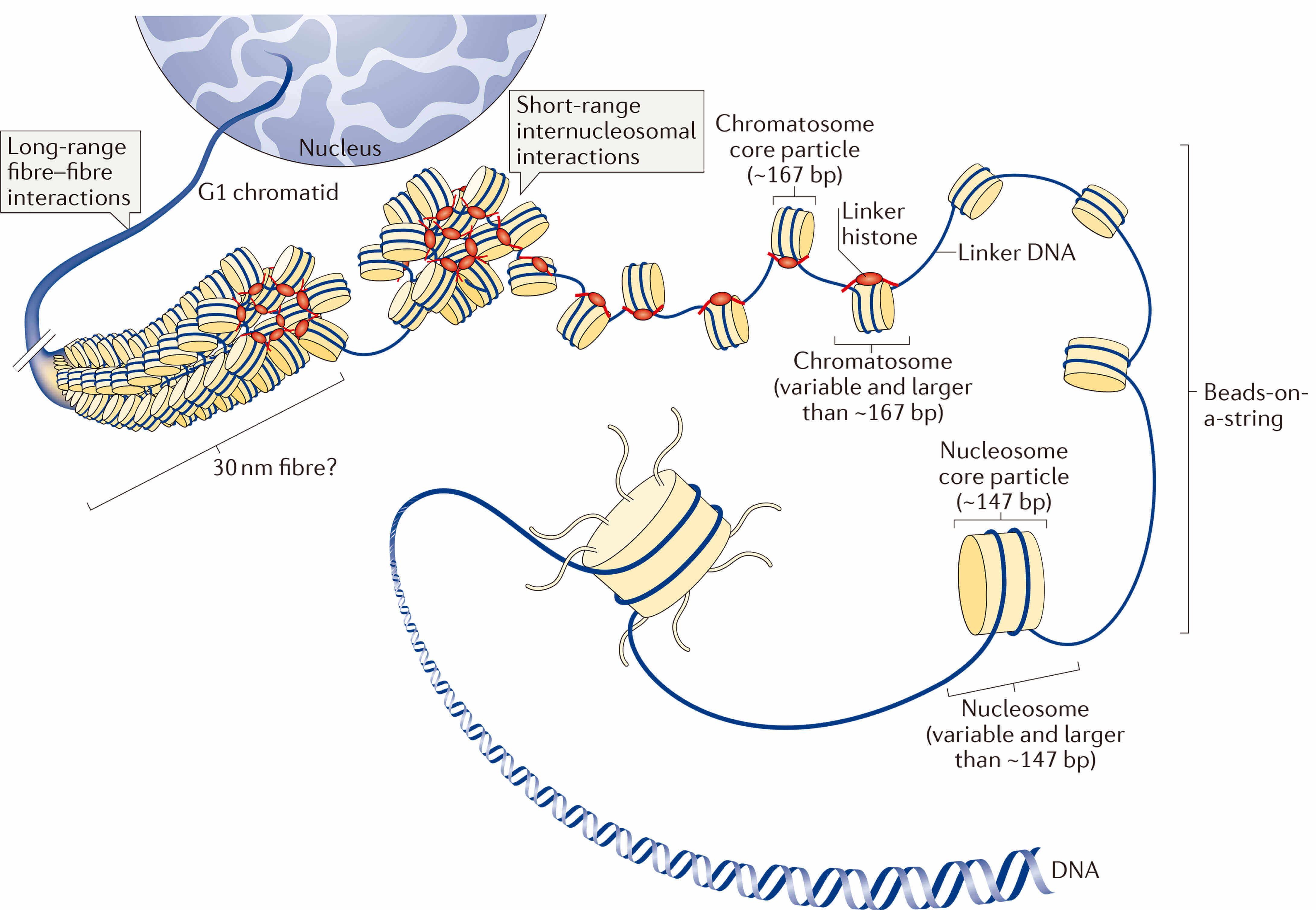 Multiple Levels of Chromatin Folding