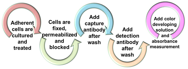 Workflow of Phosphorylated Histone Quantification (PHQ) Assay