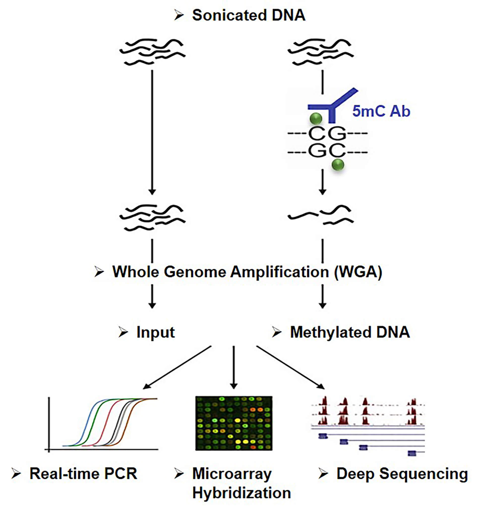 Principle of Methylated DNA immunoprecipitation (MeDIP)