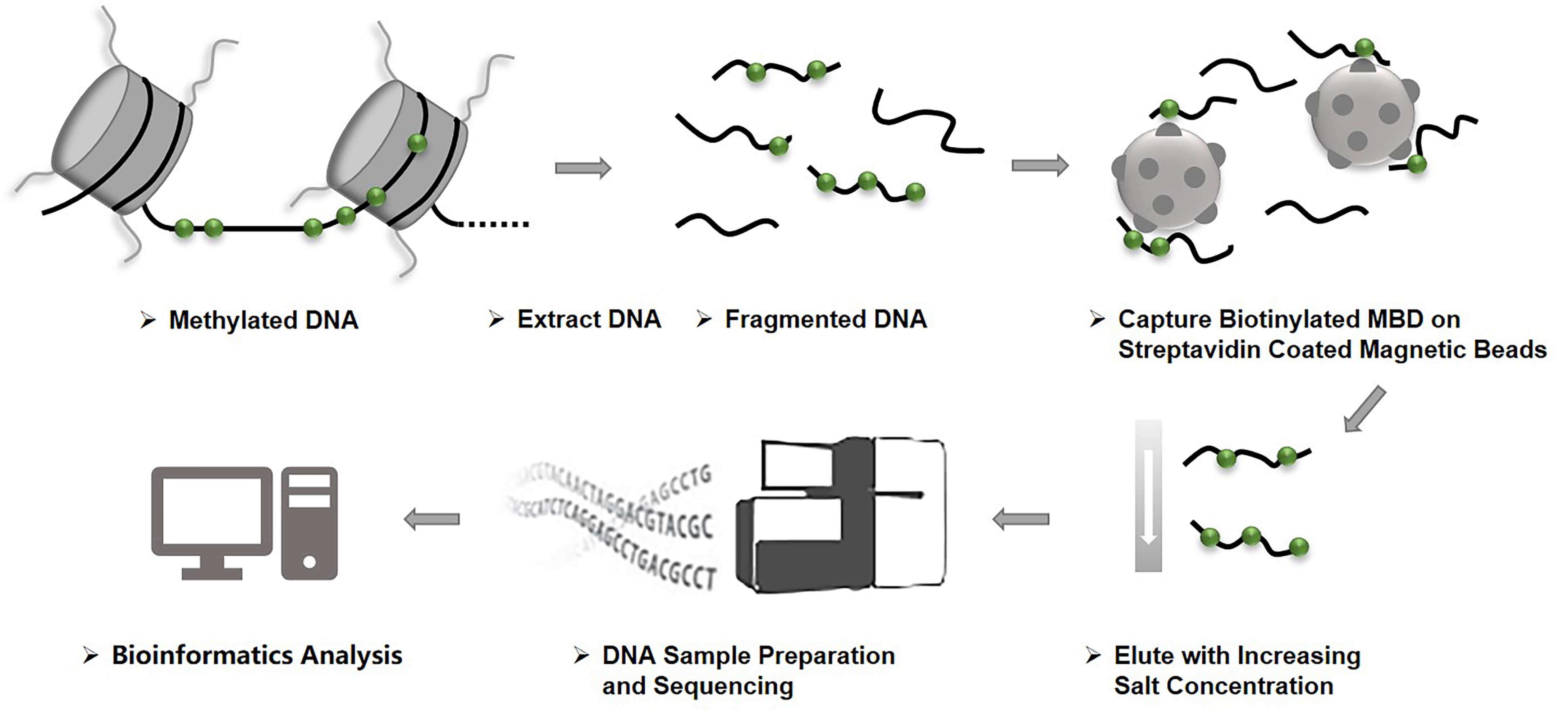 Workflow of Methyl-CpG-Binding Domain Sequencing (MBD-Seq)