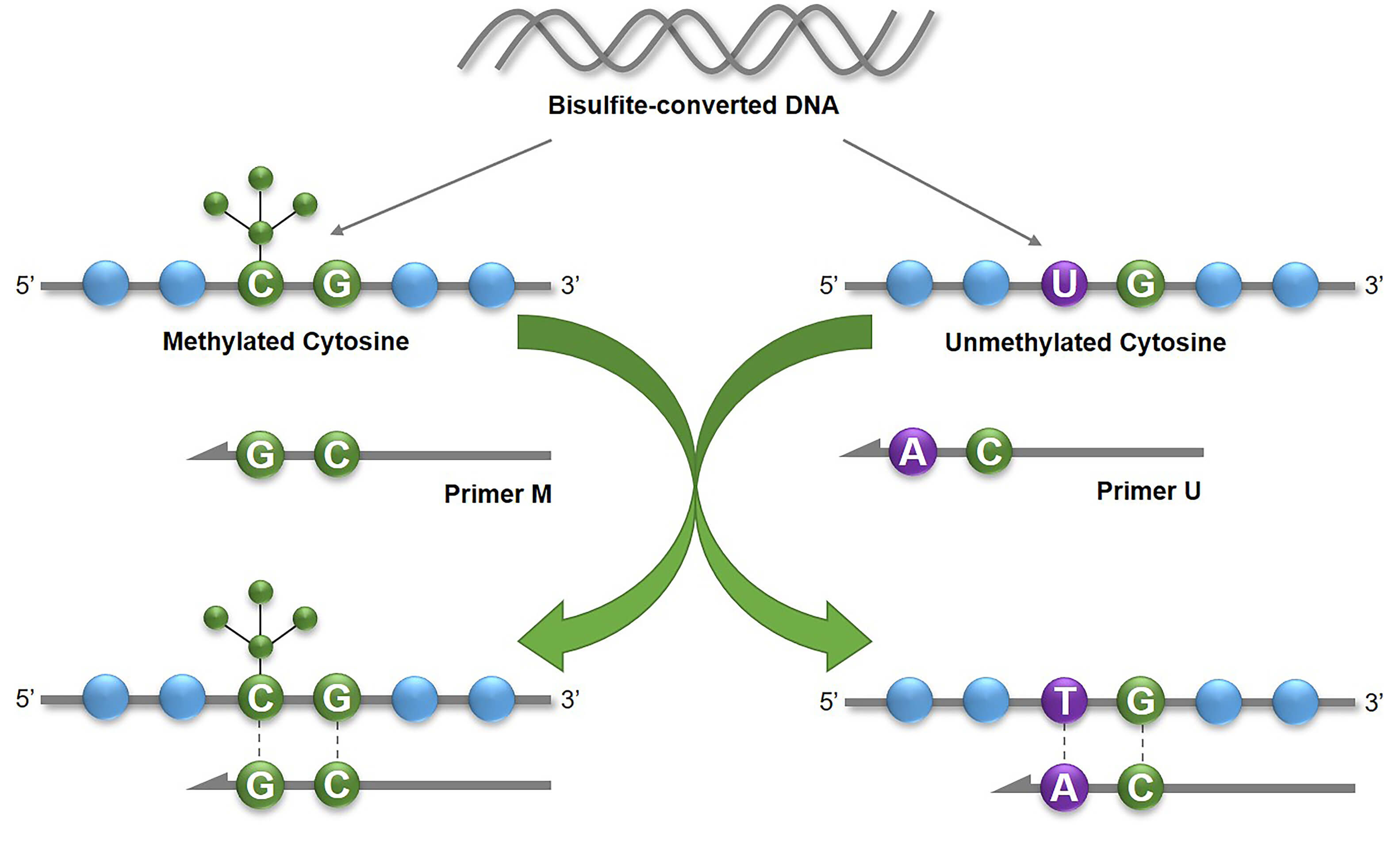 The basic principle of Methylation-Specific PCR (MSP)