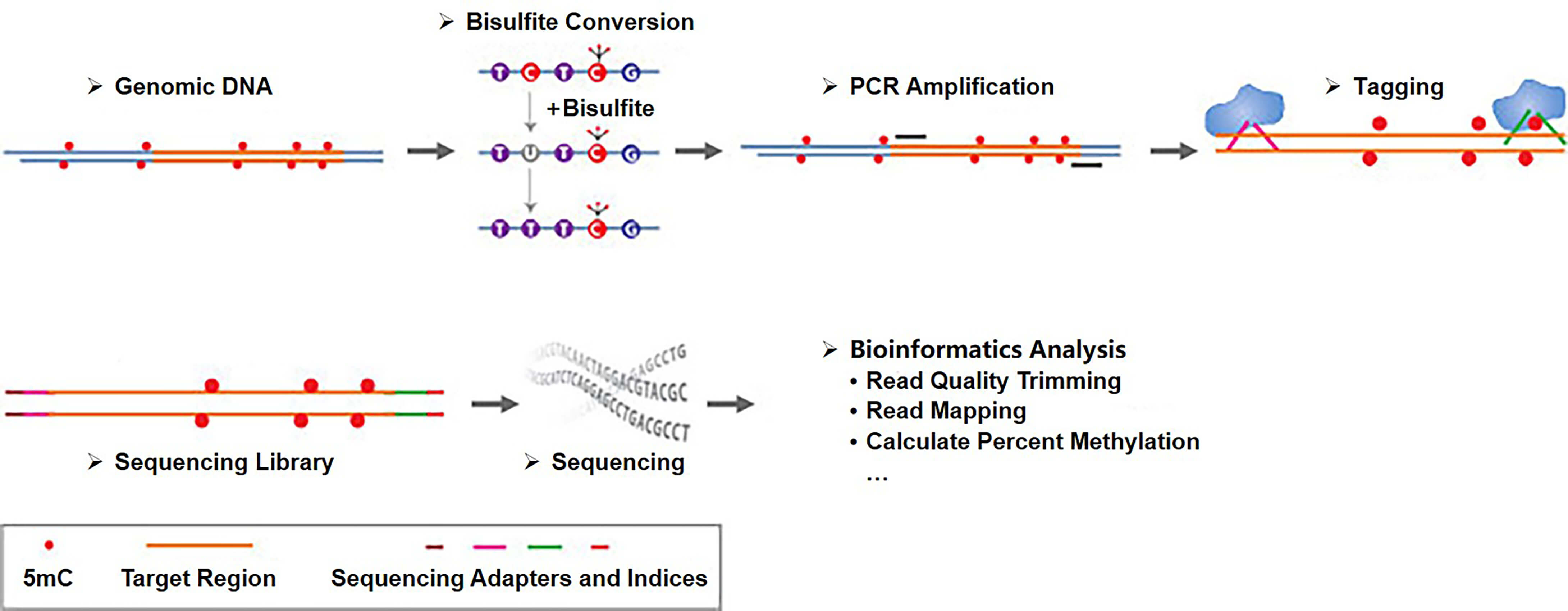 Workflow of targeted bisulfite sequencing based on region-specific PCR amplification