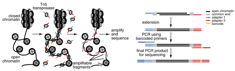 Schematic illustration of the principle behind ATAC-Seq