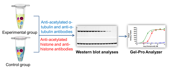 Workflow of cell-based histone & tubulin deacetylation assay