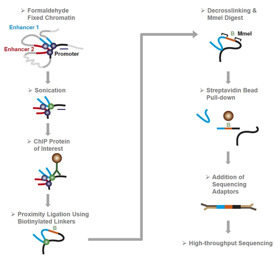 Schematic Representation of ChIA-PET Sequencing