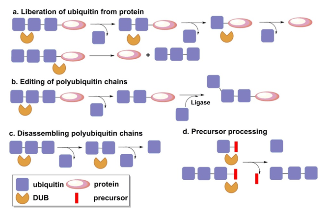 Main functions of DUB enzyme