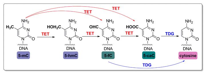 DNA demethylation pathway