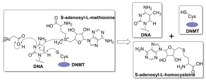 The reaction mechanism of the methylation of cytosine.
