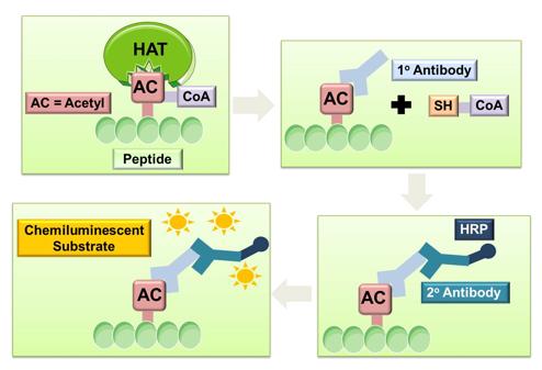 General procedure of chemiluminescent method for HAT screening assay
