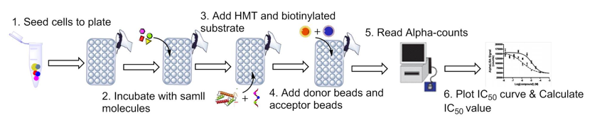 Schematic procedure of cell-based histone methylation assay