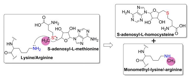 Proposed general chemical mechanism of SAM-dependent HMTs.