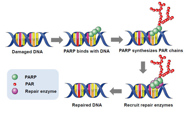 Mechanism of the PARP enzyme