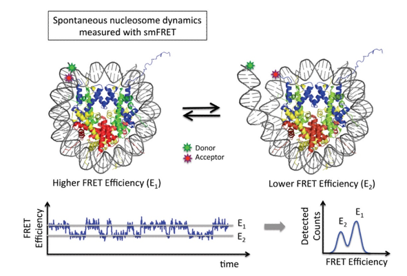smFRET Studies on the Structure and Structural Dynamics of Nucleosomes.
