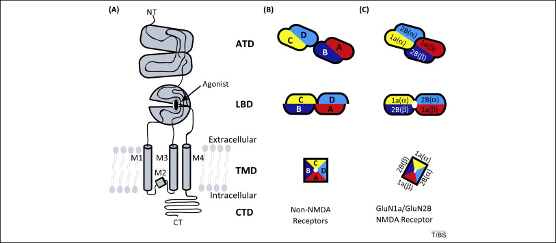 Structure of Ionotropic Glutamate Receptors. (A) The ionotropic glutamate receptor subunits are composed of the amino-terminal domain (ATD), ligand-binding domain (LBD), transmembrane domain (TMD), and the carboxy-terminal domain (CTD). The TMD is composed of M1–M4 helices. (B) non-NMDARs. (C) NMDARs, The four subunits (A–D) in non-NMDARs.