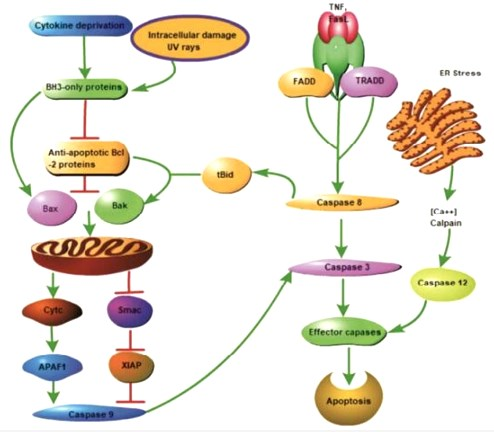 Bcl-2 and Cellular apoptosis pathway. Mitochondrial apoptotic pathway