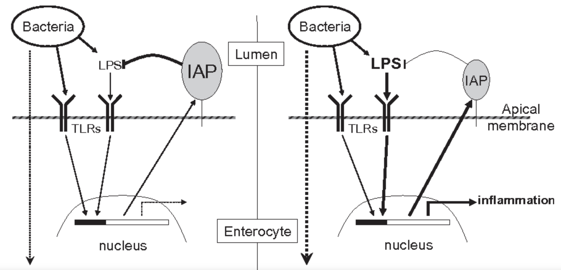 Feedback regulation between IAP activity and bacterial LPS
