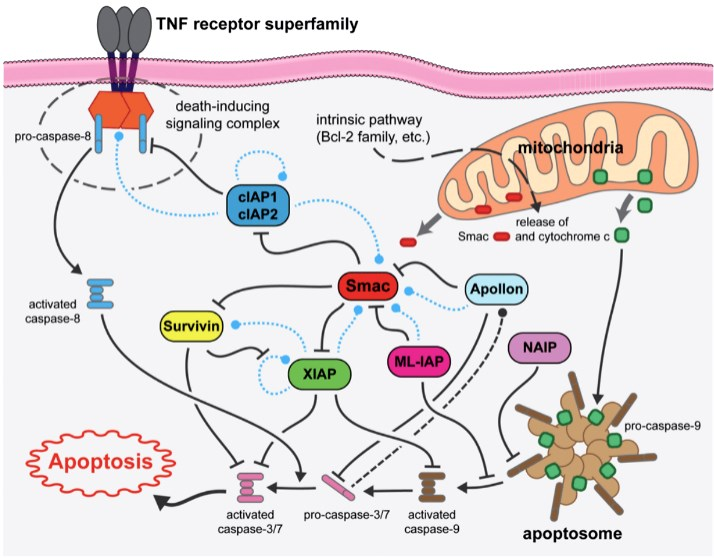 Schematic of pertinent inhibitor of apoptosis signaling pathways relevant to tumor cell survival and apoptosis.