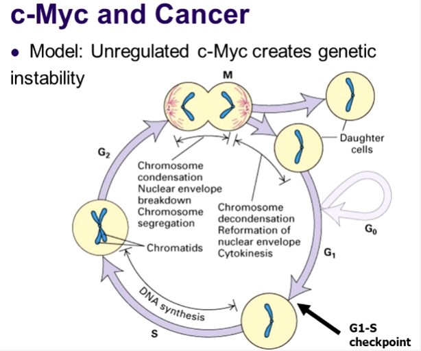 The c-MYC gene is an oncogene that belongs to the family of MYC genes that mediate the expression of many other genes.