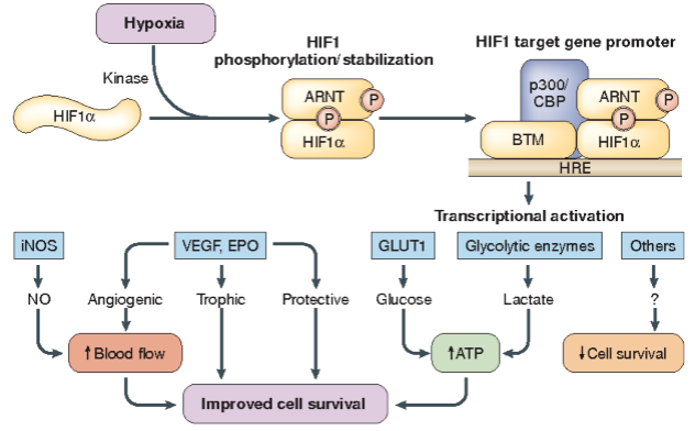Induction of hypoxia-inducible factor 1 (HIF1) target genes by hypoxia.