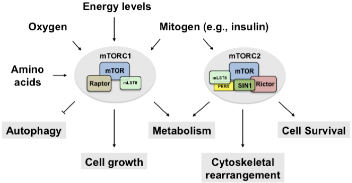 mTORC1 and mTORC2. mTOR is a serine/threonine kinase that forms two biochemically and functionally distinct complexes. mTORC1 consists of mTOR, raptor, mLST8 and the two inhibitory subunits, PRAS40 and DEPTOR, whereas mTORC2 consists of mTOR, rictor, mLST8, PRR5, SIN1 and the inhibitory subunit, DEPTOR. mTORC1 senses mitogens, oxygen levels, intracellular energy status, and amino acids to promote cell growth by regulating anabolic and catabolic processes.