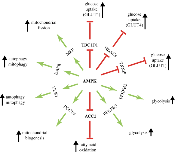 A wheel of downstream targets and the pathways they regulate, focusing on catabolic processes that are activated by AMPK.