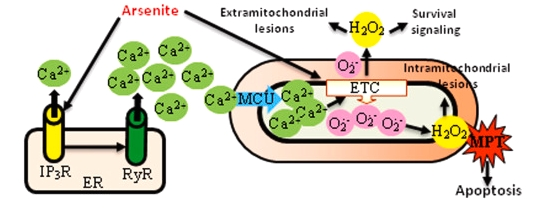 The proportion of Ca2+ absorbed by the mitochondria's reaction to arsenic is derived from RyR.