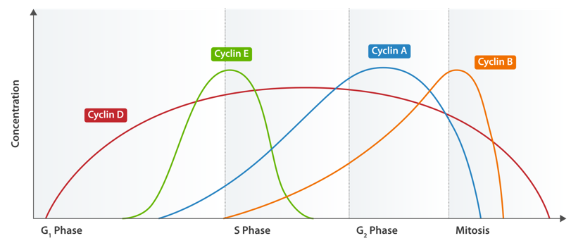 Expression of cyclins through the cell cycle.