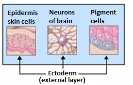 Organs derived from ectoderm.