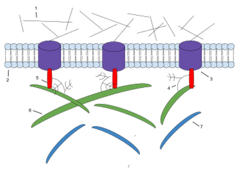 The components of ECM. 1: Microfilaments 2: Phospholipid Bilayer 3: Integrin 4: Proteoglycan 5: Fibronectin 6: Collagen 7: Elasti